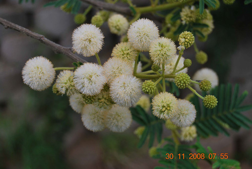 big-Acacia-siberiana-Flowers2