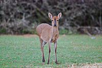 Commom or Grey Duiker